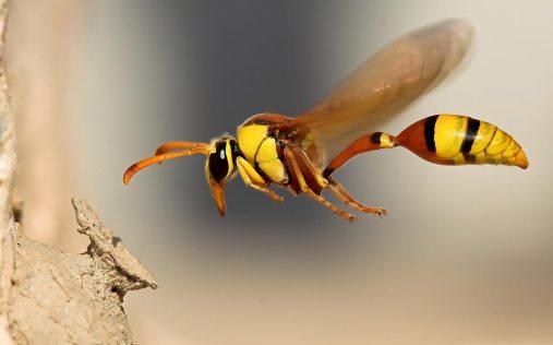 Potter_wasp